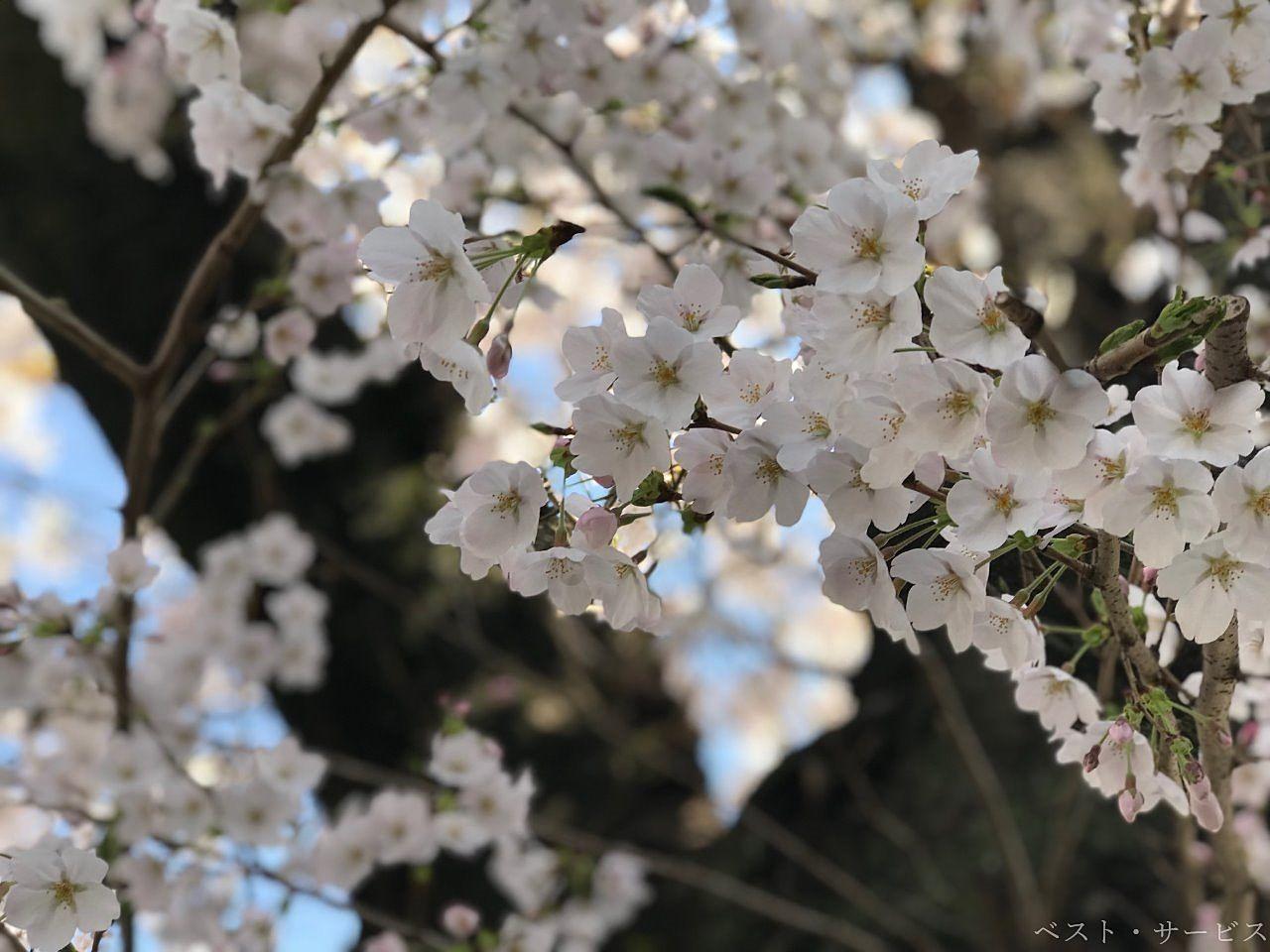 西川緑道公園に咲くソメイヨシノ