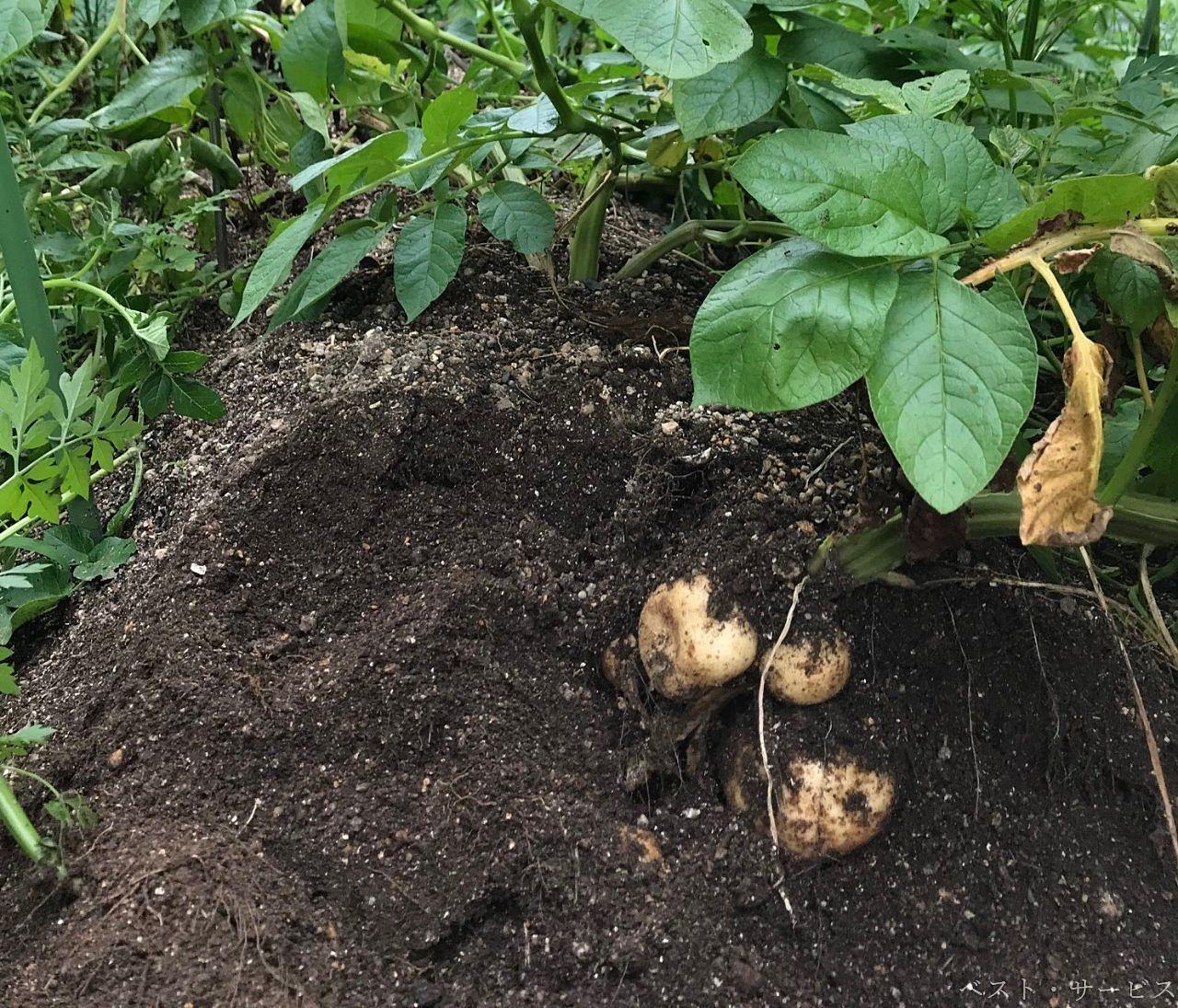 ジャガイモの管理