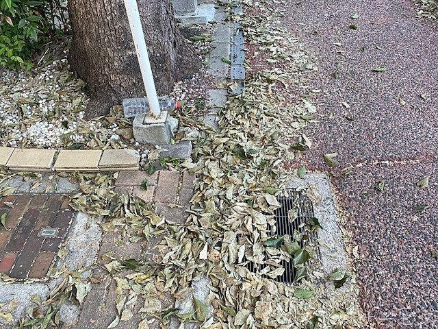 炉端に落ちて積もるクスノキの葉っぱ