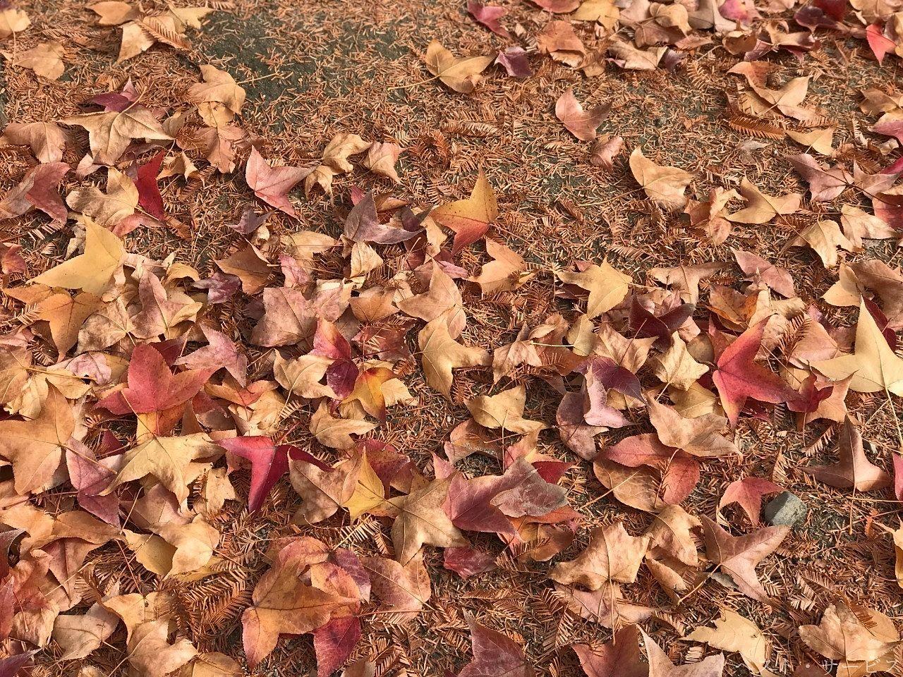 岡山県総合グラウンドの並木道にあった落ち葉